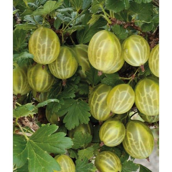 Gooseberry white  'Triumph' (Ribes uva-crispa
