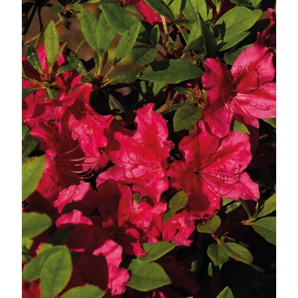 Japanese azalea  'Georg Arends'  (Rhododendron