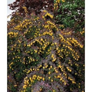 Berberis ×ottawensis 'Superba'