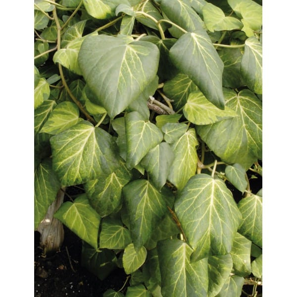 Colchis ivy (Hedera colchica 'Sulphur Heart')