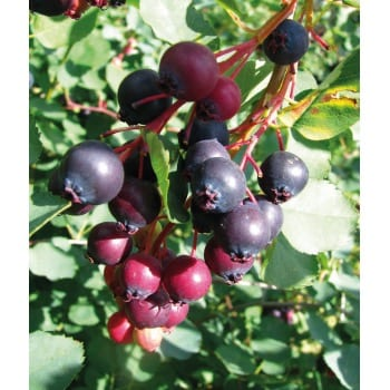 Canadian serviceberry