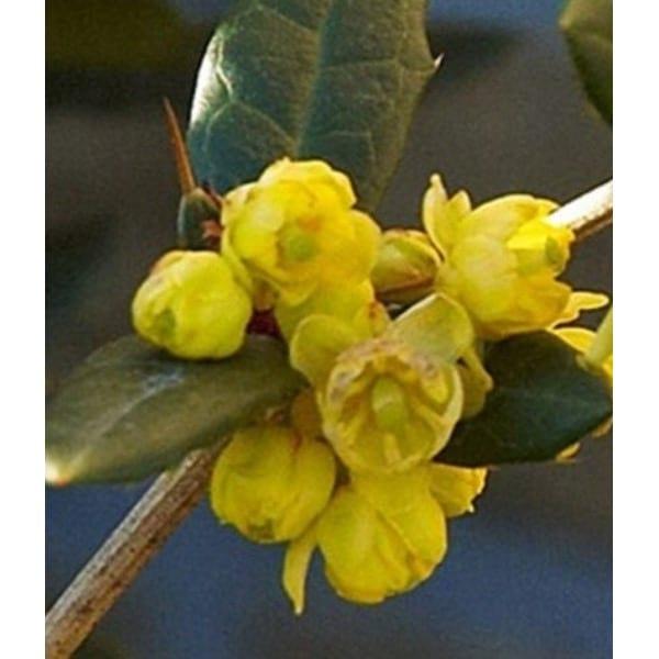 Die Schmetterlingsflieder 'Juliany' (Berberis