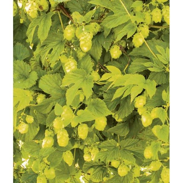 Hops 'Aureus'(Humulus lupulus 'Aureus')    An