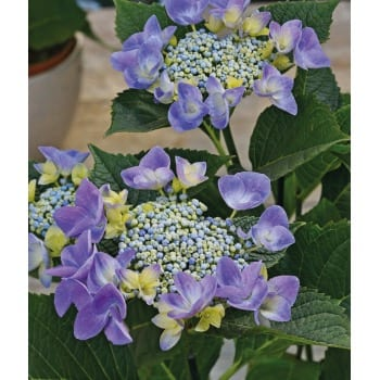 Hydrangea serrated 'Blue Bird'