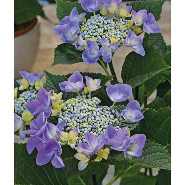 Hydrangea serrated 'Blue Bird' (Hydrangea