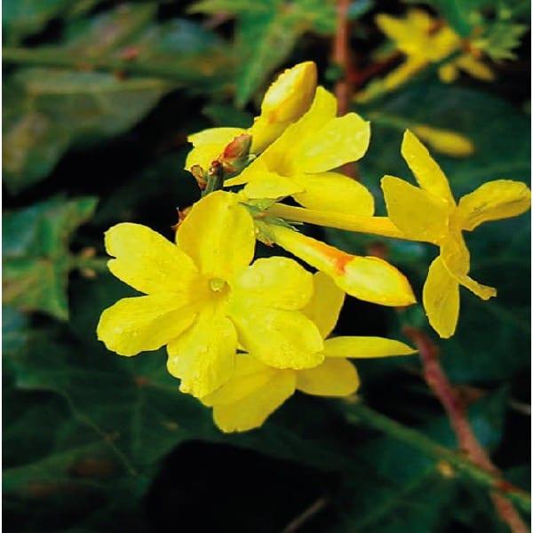 Jaśmin nagokwiatowy (Jasminum nudiflorum)