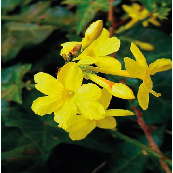Winter jasmine(Jasminum nudiflorum)    An