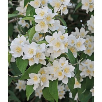 Jasmine 'Waterton'