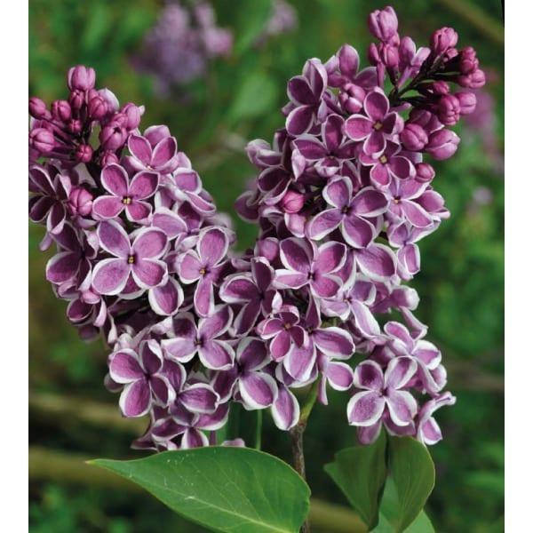 Syringa vulgaris 'Sensation'    Blooms less