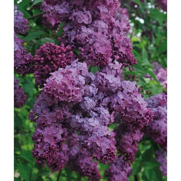Syringa vulgaris 'Congo'    Is a deciduous shrub