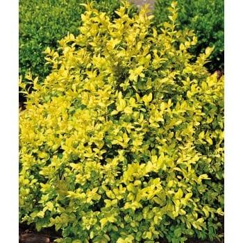 Gewöhnliche Buchsbaum 'Aurea'