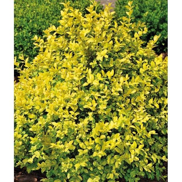 Der gewöhnliche Buchsbaum 'Aurea' (Buxus
