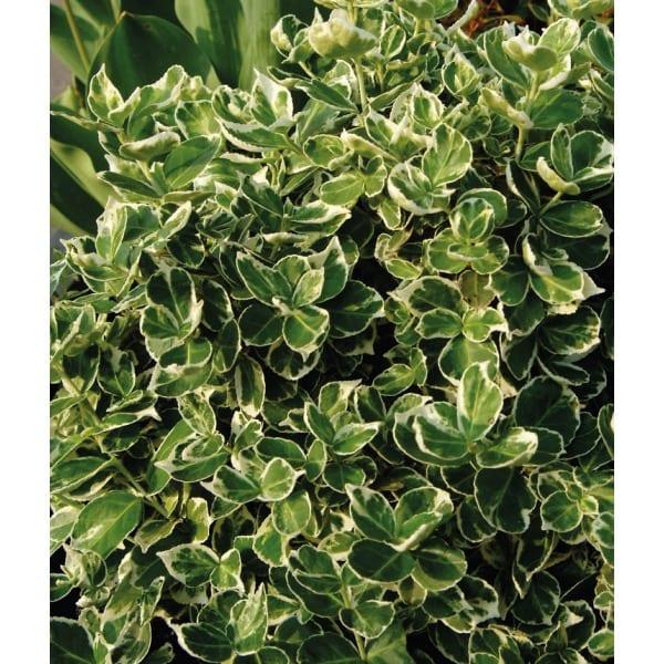 Trzmielina Fortunea 'Emerald Gaiety' (Euonymus