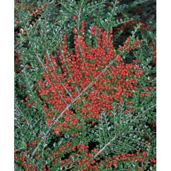 Cotoneaster horizontalis (Wall spray)