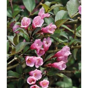 Вейгела цветущая 'Нана пурпуреа'