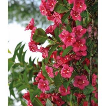 Цветущий кустарник 'Рубидора'