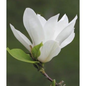 Magnolia 'Alba Superba'