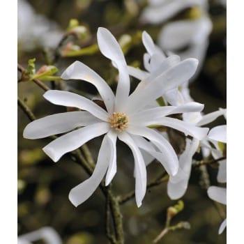 Sternförmige Magnolie