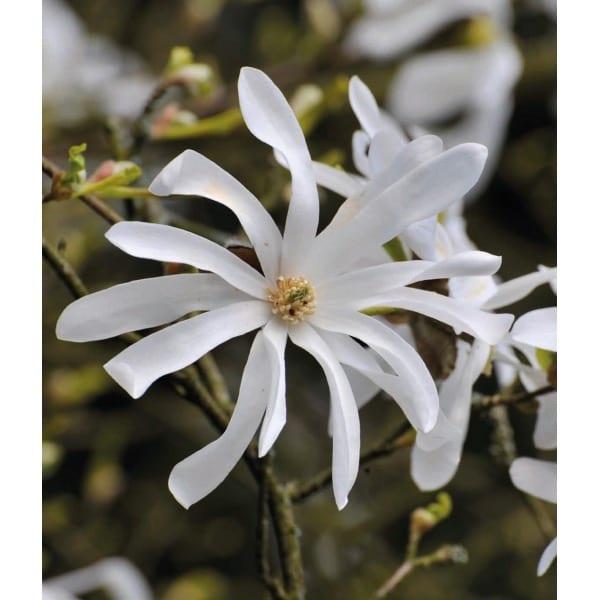 Magnolia gwiaździsta' (Magnolia stellata)