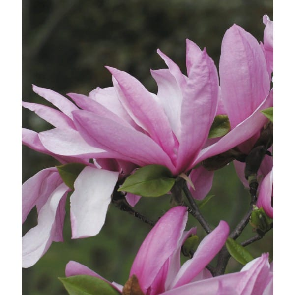 Magnolia 'Betty'  (Magnolia  'Betty' )     It is