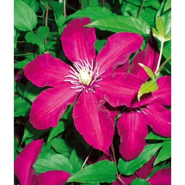 Clematis 'Niobe'    Large-flowered, often