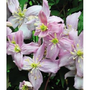 Clematis montana 'var. rubens'