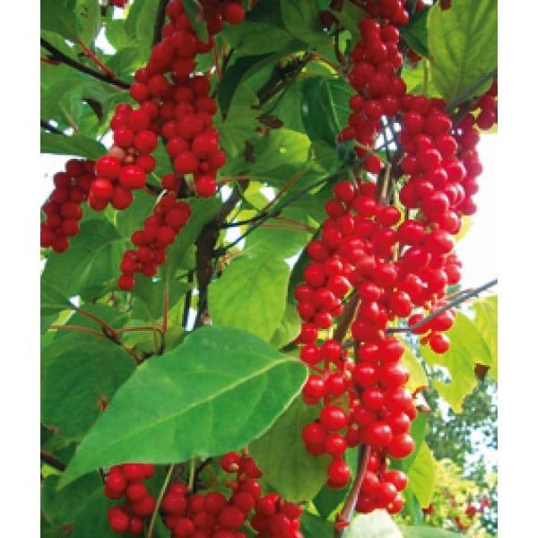 Schizandra chinensis(Schisandra chinensis)