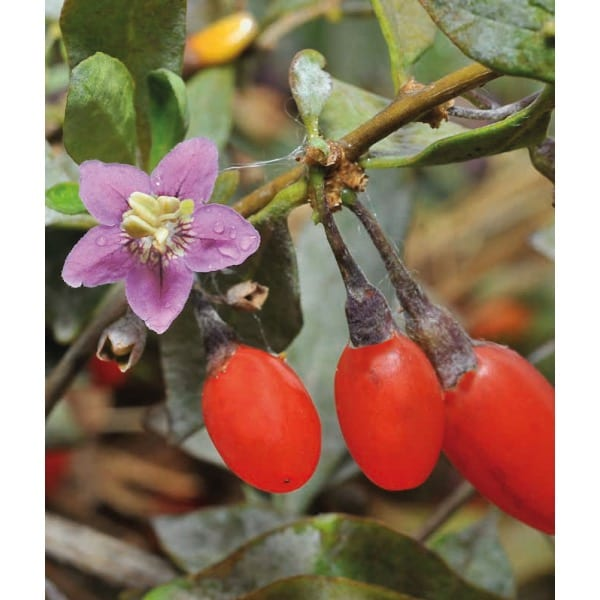 Goji berry  'Chinese wolfberry' (Lycium