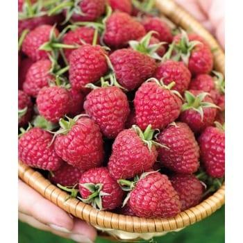 Red Raspberry 'Polka'