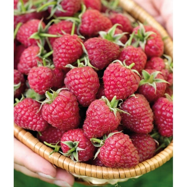 Rote Himbeere 'Polka' (Rubusidaeus 'Polka')