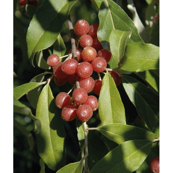 Japanese silverberry (Elaeagnus umbellata)
