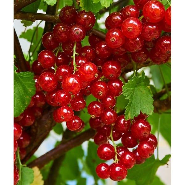 Красная смородина'Jonkheer van Tets' (Ribes