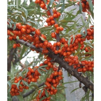 Sea buckthorn 'Aromatnaja'