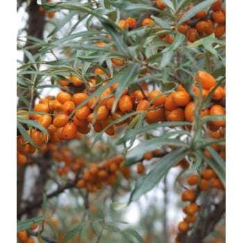 Sea buckthorn 'Luchistaja'