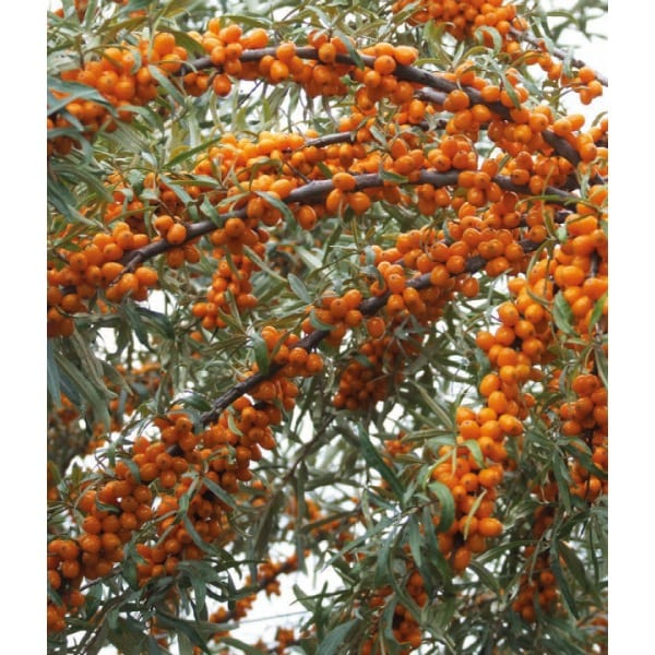 Облепиха 'Подарок Саду' (Hippophaë rhamnoides