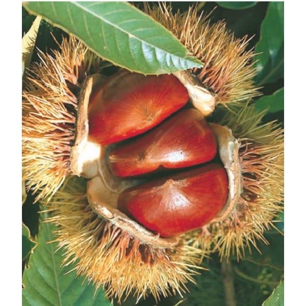 Кашта́н посевно́й (  Castanea   sativa  )