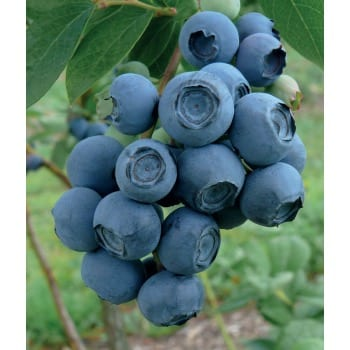 Northern blueberry 'Rubel'