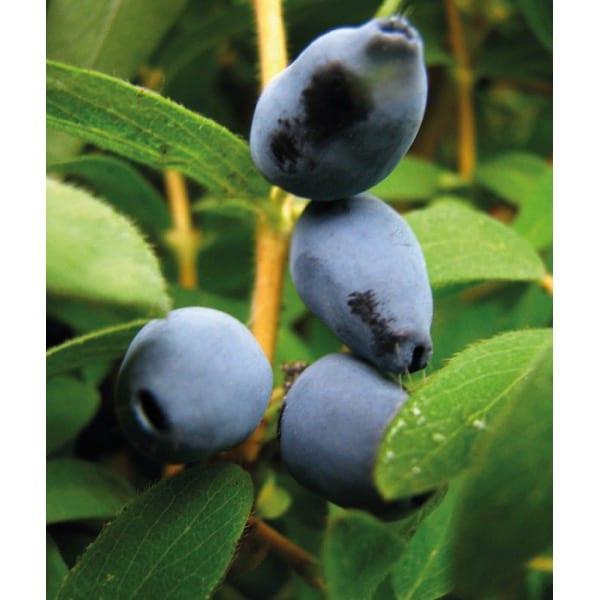 Kamchatika Berry 'Black'(Lonicera kamtchatica