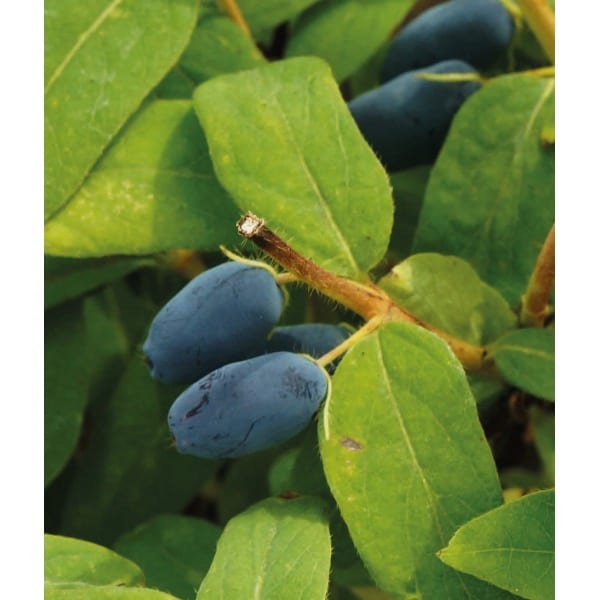 Kamchatka Berry 'Asset' (Lonicera kamtchatica
