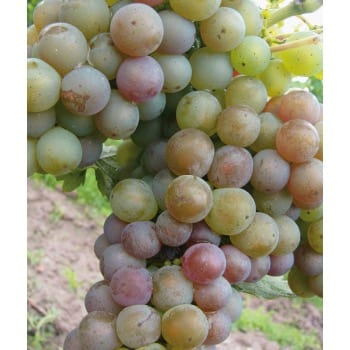 Weinrebe 'Riesling'