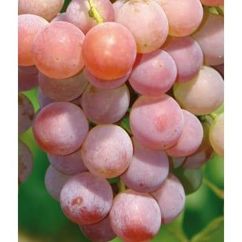 Виноград 'V 68021'