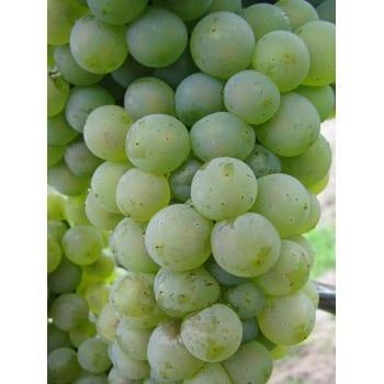 Виноград 'Гибернал'