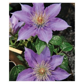 Clematis Children of Warsaw 1L
