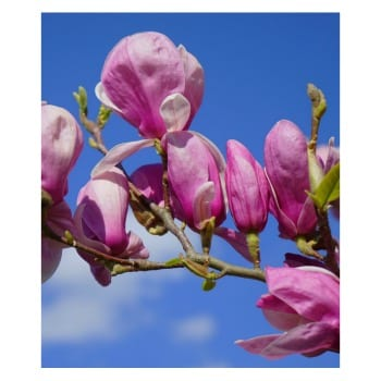 Magnolia 'Coates'